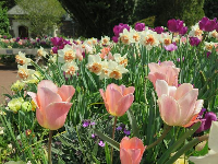 Pink tulips. What a delight!