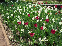 White and red tulips.