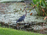 Great blue heron looking regal.