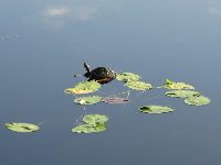 Turtle and water lilies.