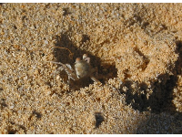 A sandcrab at Lanikai Beach!