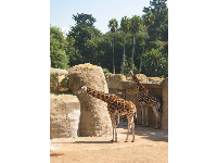 The giraffes, with palm trees behind.