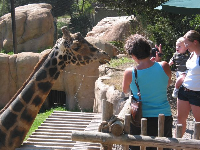 Feeding a giraffe- a close encounter!