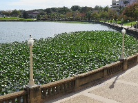 Lily pads in the lake.