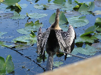 Anhinga bird drying its wings.