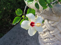 White hibiscus at Hollis Garden.