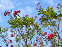 Red flowering tree and blue sky.