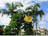 Yellow hibiscus, palms, and blue sky!