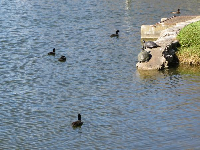 Ducks and turtles on the lake.