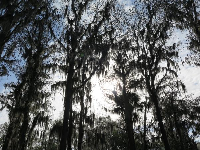 Looking up at the cypress trees and Spanish moss.