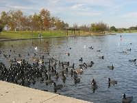 There are a lot of ducks! Please don't feed them though- it makes them sick.