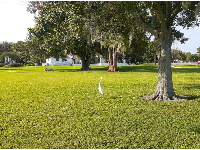 Snowy egret on the lawn.