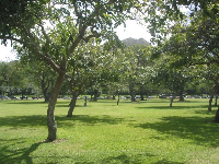 Shower trees glistening in the sun at Kapiolani Park.