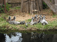 These lemurs are funny guys, lazing with their tummies sticking out.