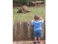 A toddler peeks over the fence at an old Galapagos tortoise- this is an example of how intimate the exhibits are at Honolulu Zoo.