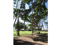 The amazing Banyan tree vines that you can swing on!