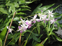 There are lovely orchids at Hilton Hawaiian Village.
