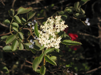 Flowering bushes at Douglas Preserve.