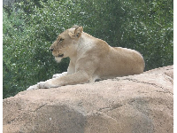 A lion looking regal.