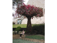 A place to sit at the Getty Center gardens, under a bougainvillea arbor.