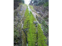 The thin waterfall and mossy rock wall.