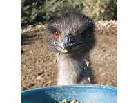 These guys are classic! Emus are from Australia.