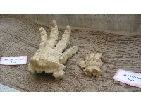 Exhibit comparing the size of a mainland mammoth foot with a pygmy mammoth foot.