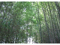 Bamboo forest- a blissful place in the Japanese Garden.