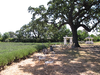 Oak tree, gazebo, and ironwork chairs.