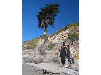 Distinctive lone cypress at Jelly Bowl Beach.