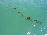 A beautiful string of kelp as seen from the pier.