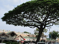 Tree that towers above the cafes.