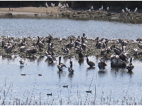 The Malibu lagoon and its pelicans and herons.