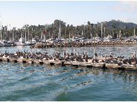 So many pelicans at the harbor!