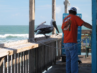 A pelican greets people who enter the pier.