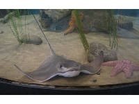 Sting ray and pink starfish at the Central Coast Aquarium.