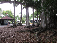 Visitors walk past the banyan tree's aerial roots.
