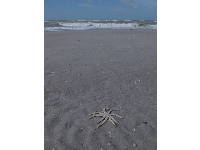 Nine-armed starfish in the sand.