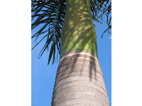 Beautiful green crownshaft of a royal palm, at Mallory Creek development.
