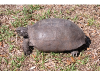 A cute gopher tortoise.
