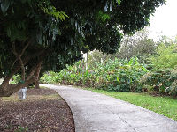 Pathway beside banana trees.
