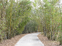 Walkway lined with bamboo, shimmering in the breeze.