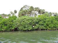 Red mangrove and white mangrove.