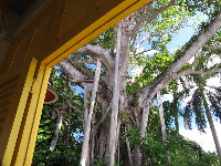 Strangler Fig as seen through yellow window.