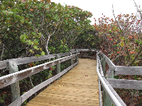 Wooden walkway through sea grape forest to the observation deck.