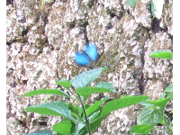 A blue butterfly in the butterfly exhibit- too fast to get in focus!