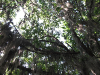 Looking up at the oak trees. Love them!