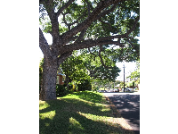 Canopy of large shade trees on Lanihuli Dr.