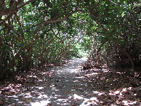 Pathway through sea grape forest.