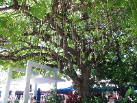 Sausage tree on Lincoln Rd mall.